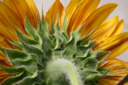 Rear view of a colorful sunflower