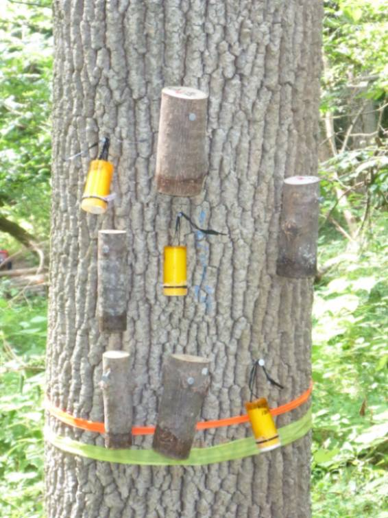 EAB parasitioids (inside sections of stem and in plastic 'Oobinators') affixed to an American Ash tree in the GNA.