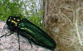 The Emerald Ash Borer and an ash stem with the characteristic 'serpentine galleries' beneath the bark.