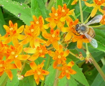Asclepias tuberosa (butterfly weed)
