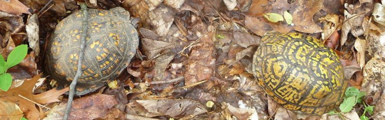 Two Eastern Box Turtles (Terrapene carolina carolina)