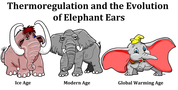 Thermoregulation and the Evolution of Elephant Ears